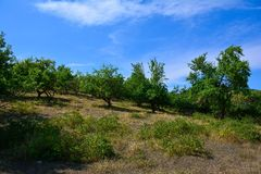 Green fruit trees Stock Images