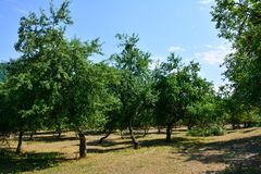 Green fruit trees Stock Photography