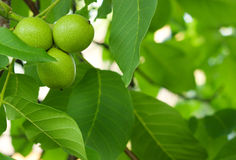 The green fruit of walnut. Leaves on a tree Stock Photography