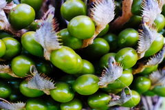 Green fruit of the wild palm plant in Asia Stock Photos