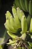 Green Fruits of Banana Royalty Free Stock Photography