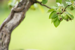 Green fruits at a bonsai apple tree. (Malus Royalty Free Stock Photography