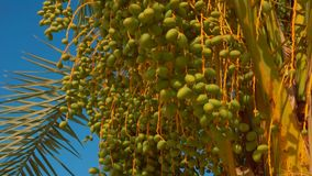 Green fruits of a date palm. On a background of a bright blue sky on a sunny day stock video