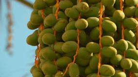 Green fruits of a date palm. Green fruits of the date palm. Close-up panorama stock video