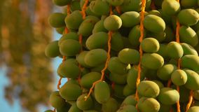 Green fruits of a date palm. Green fruits of the date palm. Close-up panorama stock footage