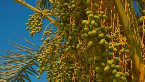 Green fruits of a date palm. On a background of a bright blue sky on a sunny day stock footage