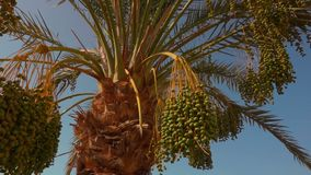 Green fruits of a date palm. Green fruits of the date palm. Panorama stock video footage