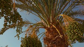 Green fruits of a date palm. Green fruits of the date palm. Panorama stock footage