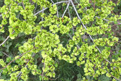 Green fruits of an elm stocky Ulmus pumila L., background Stock Photo