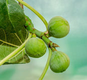 Green fruits of Ficus carica, mulberry family, known as the common fig, tree branches Stock Photography