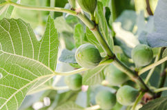 Green fruits of Ficus carica, mulberry family, known as the common fig, tree branches. Stock Images