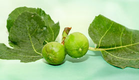 Green fruits of Ficus carica, mulberry family, known as the common fig, tree branches. Royalty Free Stock Images