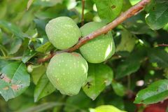 Green fruits of Japanese quince on the branches Stock Images