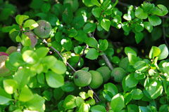 Green fruits of japanese quince garland on branches of a bush Stock Photos