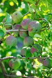 Green fruits of japanese quince garland on branches of a bush Royalty Free Stock Images