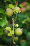 Green fruits of japanese quince garland on branches of a bush Stock Images