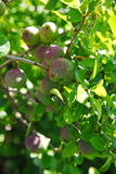 Green fruits of japanese quince garland on branches of a bush Stock Photo