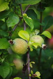 Green fruits of japanese quince garland on branches of a bush Royalty Free Stock Photos