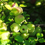 Green fruits of japanese quince garland on branches of a bush Stock Image