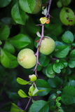 Green fruits of japanese quince garland on branches of a bush Royalty Free Stock Photo