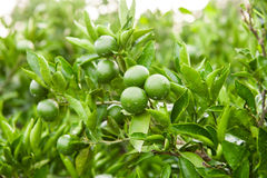 Green fruits and leafs of the tangerine tree Royalty Free Stock Images