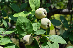 Green fruits in the quince tree Stock Photography