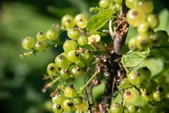 Green fruits of red currant at the stage of ripening. Description: Green fruits of red currant at the stage of ripening stock photo