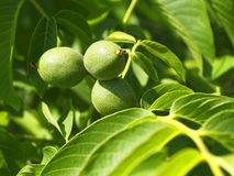 Green fruits of walnut on a branch Royalty Free Stock Photography