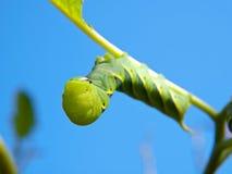 Green Fruitworm Royalty Free Stock Photos