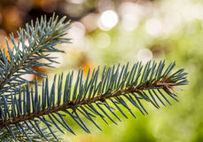 Green fur-tree branch Royalty Free Stock Photo