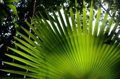 Green gömma i handflatan leafen Arkivbild