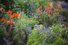 A green garden with bright red poppies Royalty Free Stock Photography