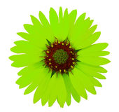 Green Garden flower. White isolated background with clipping path.  Closeup. no shadows. Nature Royalty Free Stock Images