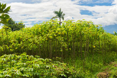 Green garden full of cassava trees, bushes and coconut tree with beautiful cloudy sky as background photo taken in Stock Photos