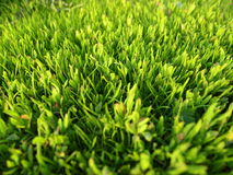 Green garden grass lawn. Green garden grass, beautiful well-groomed lawn, the grass in the summer sun Royalty Free Stock Photography