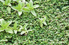 Green garden hedge pattern Stock Photo