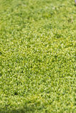 Green garden hedge surface Stock Photo