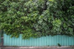 Green garden hedge Stock Photo