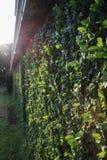 Green garden hedge Royalty Free Stock Photo