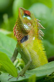 Green garden lizard Stock Images