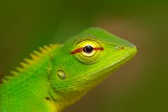 Green Garden Lizard, Calotes calotes, detail eye portrait of exotic tropic animal in the green nature habitat, Sinharaja Forest, S. Ri Lanka, Asia royalty free stock photos
