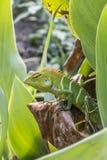 Green garden lizard (Calotes Calotes) in a garden, Sri lanka Royalty Free Stock Photo