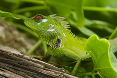Green garden lizard II Royalty Free Stock Images