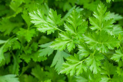 Green garden parsley Royalty Free Stock Images