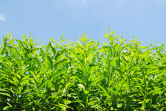 Green Garden Plants. Low Angle View of Lush Green Plants Reaching up to a Vivid Blue Sky Royalty Free Stock Photos