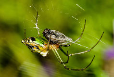 A green garden spider. Devouring its prey Royalty Free Stock Image