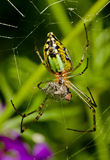 A green garden spider stock images