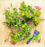 Green gardening plant with garden tools on rustic wooden background Royalty Free Stock Images