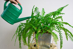 Green gardening watering fern Royalty Free Stock Photography