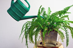 Green gardening watering fern Royalty Free Stock Photo